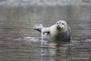 Harbour seal (Phoca vitulina) resting, Spitzbergen, Svalbard, 3