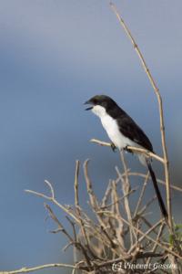 Juvenile long-tailed fiscal (Lanius cabanisi) sitting on a branch, Amboseli National Park, Kenya, 2