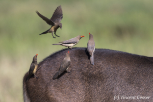Red-billed oxpecker (Buphagus erythrorhynchus) on the back of a waterbuck, Masai Mara National Reserve, Kenya