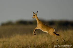 Bohor Reedbuck (Redunca redunca) jumping, Masai Mara National Reserve, Kenya