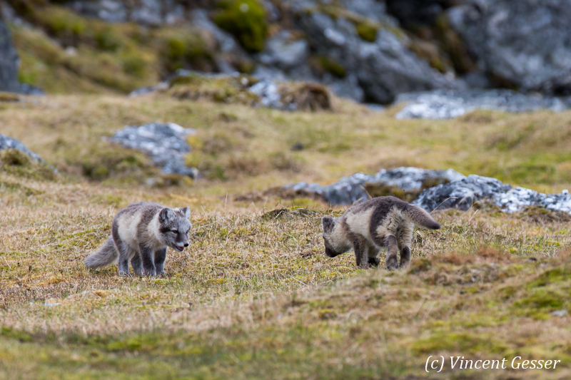 Arctic fox (Vulpes lagopus) cubs playing, Spitzbergen, Svalbard, 1