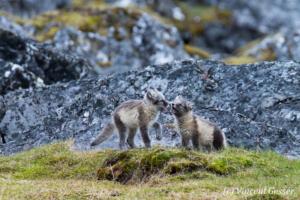 Arctic fox (Vulpes lagopus) cubs observing, Spitzbergen, Svalbard, 1