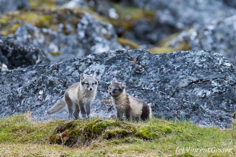 Arctic fox (Vulpes lagopus) cubs observing, Spitzbergen, Svalbard, 2