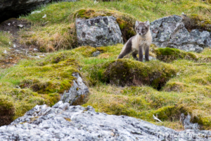Arctic fox (Vulpes lagopus) cub observing, Spitzbergen, Svalbard, 1
