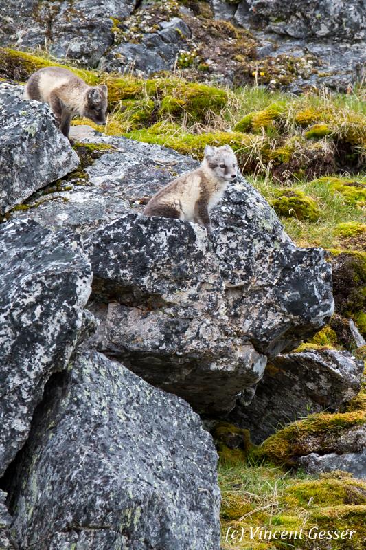 Arctic fox (Vulpes lagopus) cubs observing, Spitzbergen, Svalbard, 3