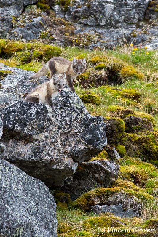 Arctic fox (Vulpes lagopus) cubs observing, Spitzbergen, Svalbard, 4