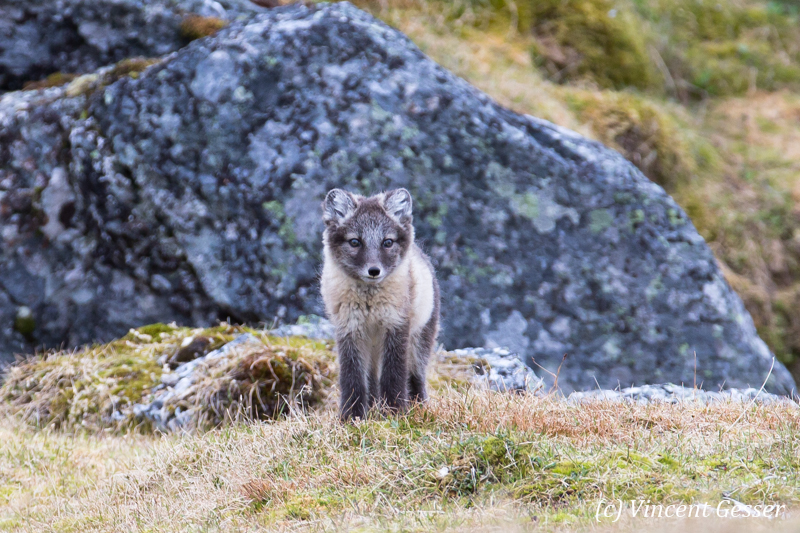 Arctic fox (Vulpes lagopus) cub observing, Spitzbergen, Svalbard, 2