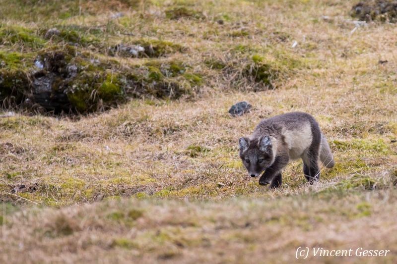 Arctic fox (Vulpes lagopus) cub walking, Spitzbergen, Svalbard, 2