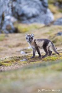 Arctic fox (Vulpes lagopus) cub observing, Spitzbergen, Svalbard, 3