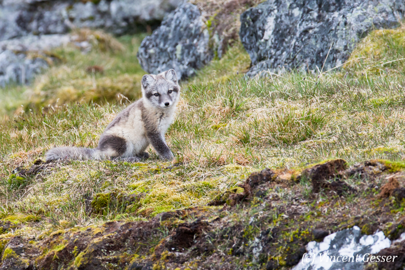 Arctic fox (Vulpes lagopus) cub observing; Spitzbergen; Svalbard; 3