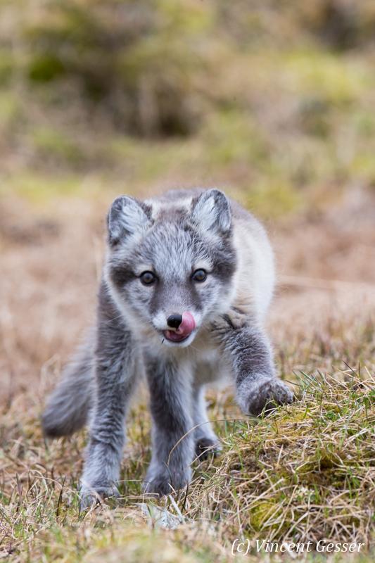 Arctic fox (Vulpes lagopus) cub walking, Spitzbergen, Svalbard, 3