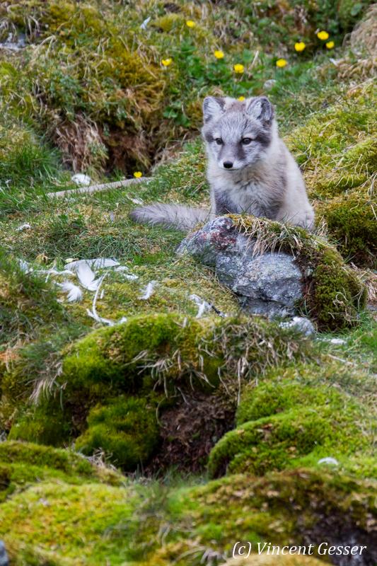 Arctic fox (Vulpes lagopus) cub observing, Spitzbergen, Svalbard, 7