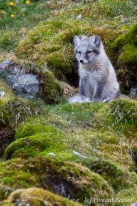 Arctic fox (Vulpes lagopus) cub observing, Spitzbergen, Svalbard, 8