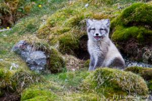 Arctic fox (Vulpes lagopus) cub observing, Spitzbergen, Svalbard, 9