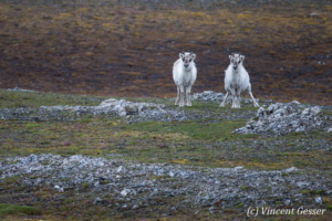 Svalbard reindeers (Rangifer tarandus platyrhynchus) watching, Spitzbergen, Svalbard