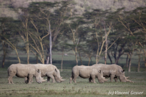 Group of four white rhinoceros (Ceratotherium simum) grazing, Lake Nakuru National Park, Kenya