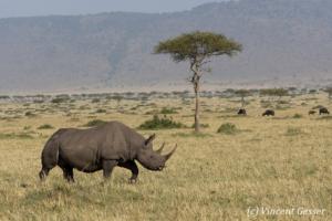 Black rhinoceros (Diceros bicornis) roaming the plains of Masai Mara National Reserve; Kenya; 1