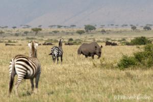 Black rhinoceros (Diceros bicornis) roaming the plains and observed by Burchell's Zebra (Equus quagga burchellii) of Masai Mara National Reserve, Kenya