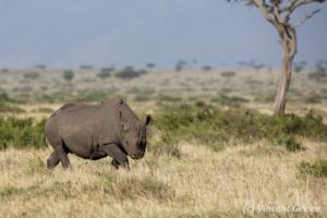 Black rhinoceros (Diceros bicornis) roaming the plains of Masai Mara National Reserve, Kenya, 3