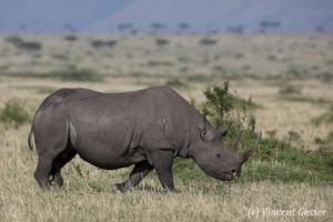 Black rhinoceros (Diceros bicornis) roaming the plains of Masai Mara National Reserve, Kenya, 4