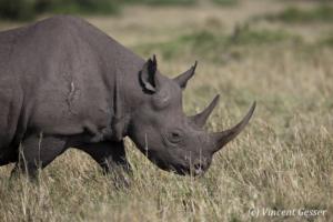 Black rhinoceros (Diceros bicornis) roaming the plains of Masai Mara National Reserve, Kenya, 5