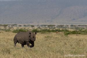 Black rhinoceros (Diceros bicornis) roaming the plains of Masai Mara National Reserve, Kenya, 6
