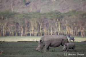 White rhinoceros (Ceratotherium simum) mother and calf grazing, Lake Nakuru National Park, Kenya, 2
