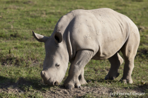 White rhinoceros (Ceratotherium simum) calf grazing, Lake Nakuru National Park, Kenya