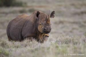 Black rhinoceros (Diceros bicornis) observing, Lewa Conservancy, Kenya, 1