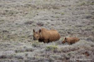 Black rhinoceros (Diceros bicornis) mother and calf grazing, Lewa Conservancy, Kenya