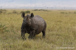 Black rhinoceros (Diceros bicornis) walking towards you, Masai Mara National Reserve, Kenya