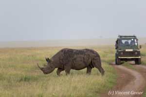 Black rhinoceros (Diceros bicornis) crossing a track under the surveillance of the rangers, Masai Mara National Reserve, Kenya