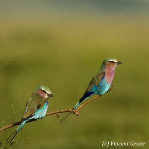 Two lilac-breasted rollers (Coriacas caudata) on a branch, Masai Mara National Reserve, Kenya