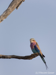Lilac-breasted roller (Coriacas caudata) on a branch, Lake kariba, Zimbabwe, 1