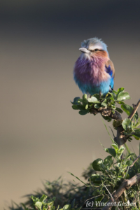 One lilac-breasted roller (Coriacas caudata), Masai Mara National Reserve,Kenya, 3