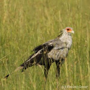 Secretary bird in a field 1