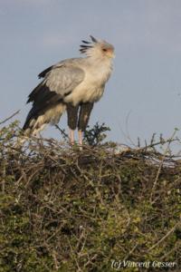 Secretary bird (Sagittarius serpentarius) on a tree, Masai Mara National Reserve, Kenya