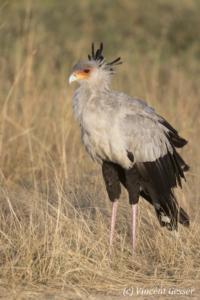 Secretary bird (Sagittarius serpentarius) in a field, Masai Mara National Reserve, Kenya, 2