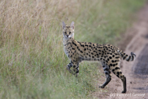 Serval cat (Leptailurus serval) watching, Masai Mara National Reserve, Kenya, 1
