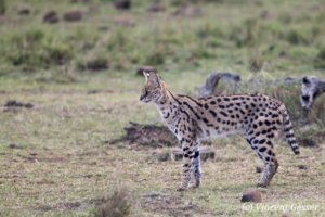Serval cat (Leptailurus serval) watching, Masai Mara National Reserve, Kenya, 3