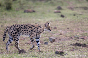 Serval cat (Leptailurus serval) walking, Masai Mara National Reserve, Kenya, 1