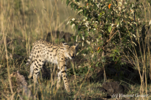 Serval cat (Leptailurus serval) walking, Masai Mara National Reserve, Kenya, 2