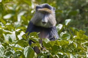Golden monkey (Cercopithecus kandti) watching from the tree, Virunga National Park, Rwanda