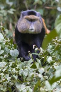 Golden monkey (Cercopithecus kandti) walking in tree, Virunga National Park, Rwanda