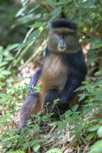 Golden monkey (Cercopithecus kandti) sitting on ground, Virunga National Park, Rwanda