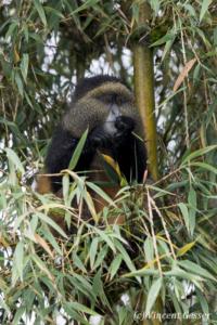 Golden monkey (Cercopithecus kandti) feeding in tree, Virunga National Park, Rwanda