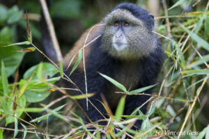 Golden monkey (Cercopithecus kandti) looking up, Virunga National Park, Rwanda