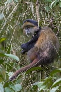 Golden monkey (Cercopithecus kandti) sitting in tree, Virunga National Park, Rwanda