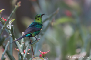 Beautiful sunbird (Cinnyris pulchella) watching, Lake Baringo, Kenya