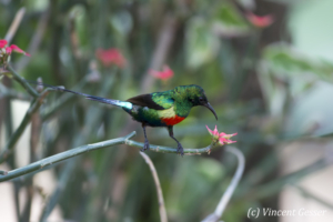 Beautiful sunbird (Cinnyris pulchella) eating from a flower, Lake Baringo, Kenya